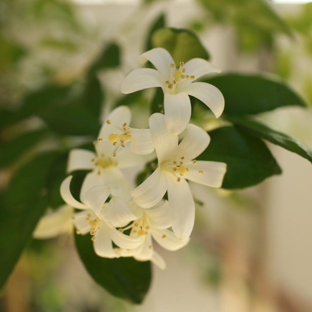 (Silk Jasmine)